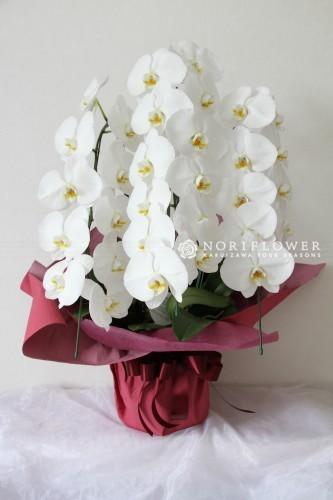 お祝い鉢物 胡蝶蘭 3本立て